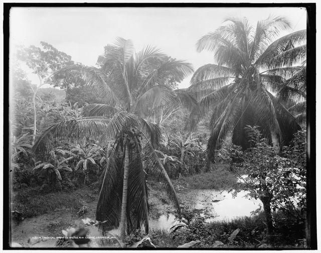 Tropical growth on the Rio Cobre, Jamaica, W.I.