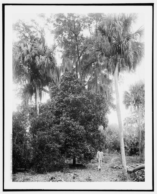 Tropical trees at Rockledge, Fla.