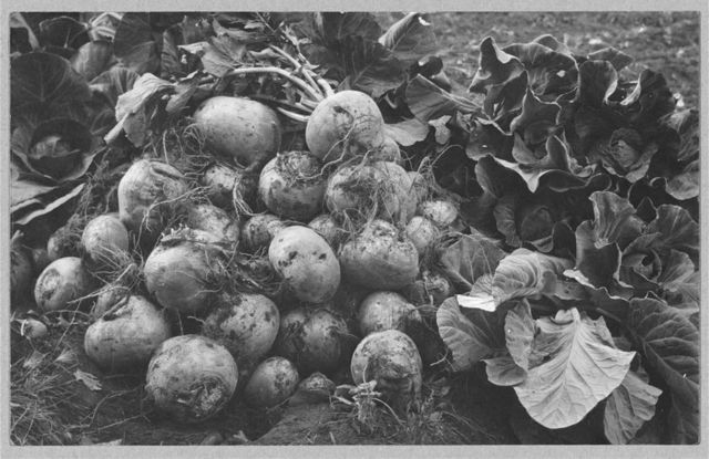 Turnips and cabbage raised by Rev. G.B. Burgess