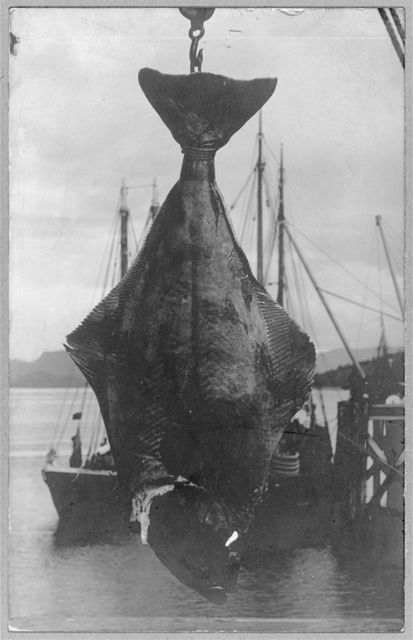 Two hundred pound halibut