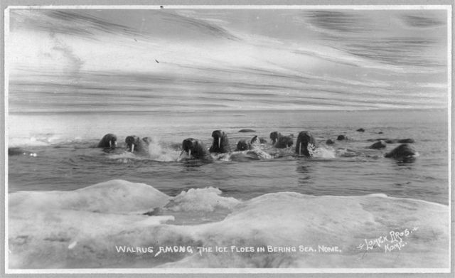 Walrus[es] among the ice floes in Bering Sea