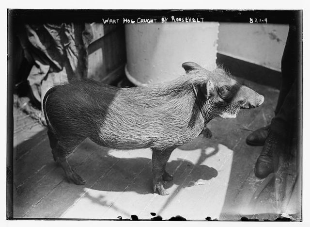 Wart hog caught by Roosevelt