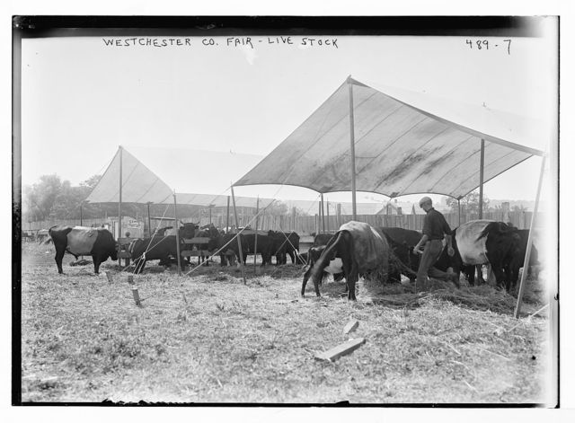 Westchester Co. Fair, livestock [New York]