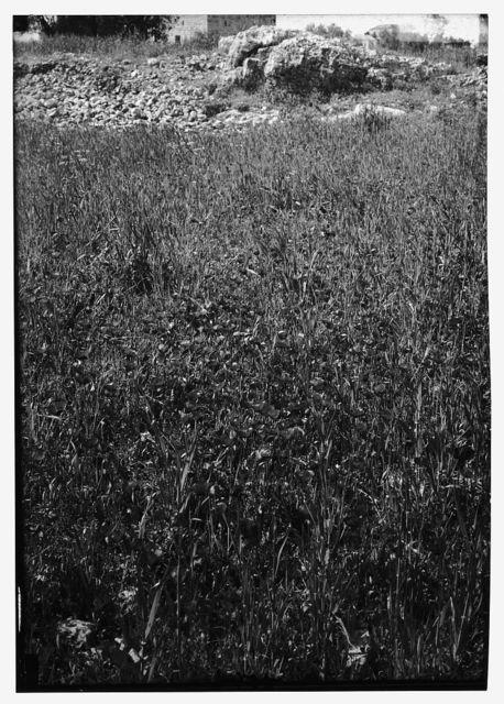 [Wild flowers of Palestine. Field of poppies (Papaver syriacum Boiss. et Bl.)]