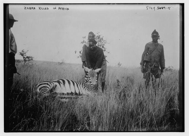 Zebra killed in Africa