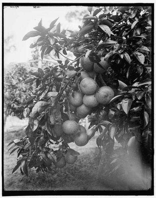 Grape fruit, Ormond, Fla.