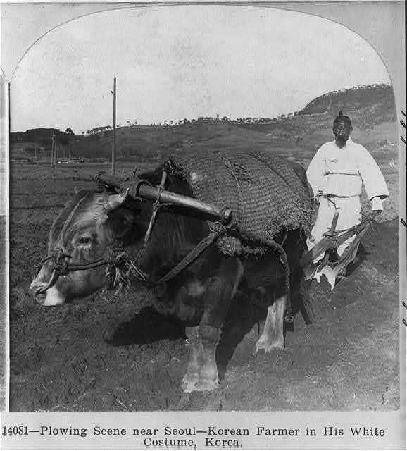 Plowing scene [with ox] near Seoul - Korean farmer in his white costume, Korea