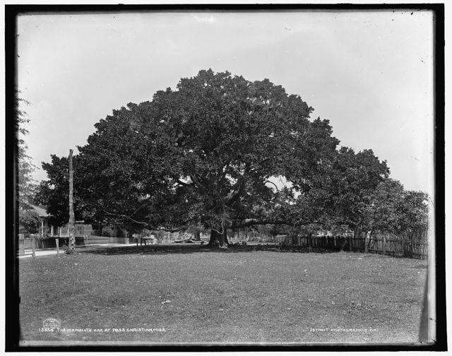 The Mammoth oak at Pass Christian, Miss.