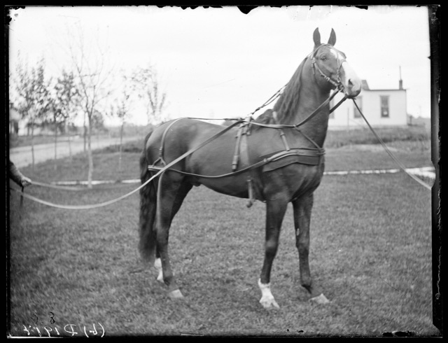 W.C. Roush's horse, Broken Bow, Custer County, Nebraska.