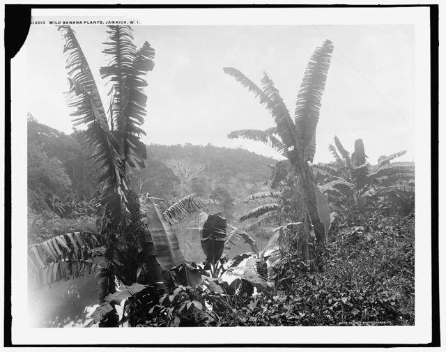 Wild banana plants, Jamaica, W.I.