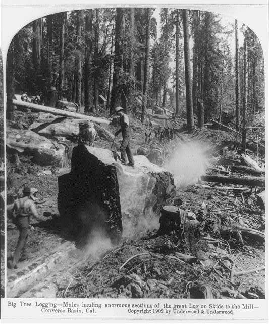 Big tree logging--mules hauling enormous sections of the great log on skids to the mill, Converse Basin