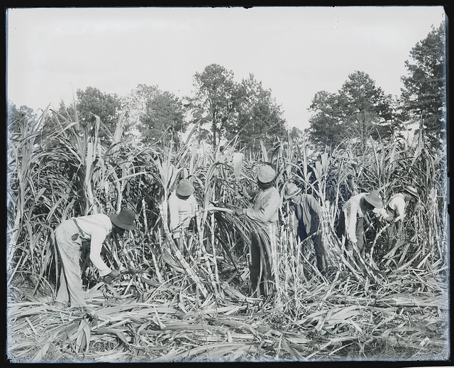 [Cutting sugar cane on the Marshall Farm, Tuskegee, Ala.]