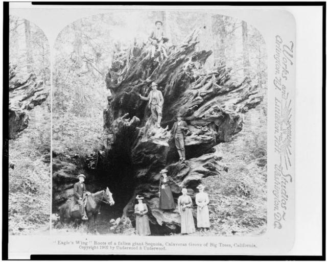 """Eagle's wing"" roots of a fallen giant sequoia, Calaveras Grove of big trees, California"