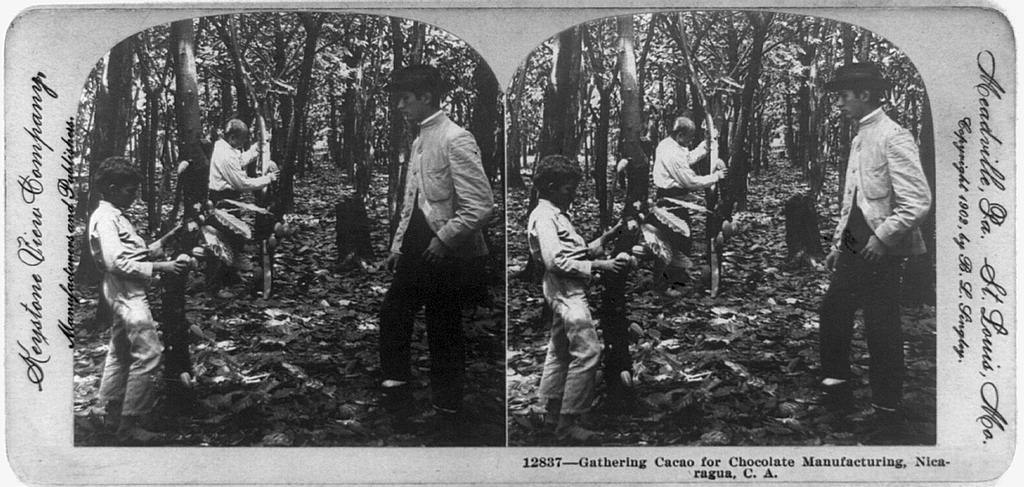 Gathering cacao for chocolate manufacturing, Nicaragua, C. A.