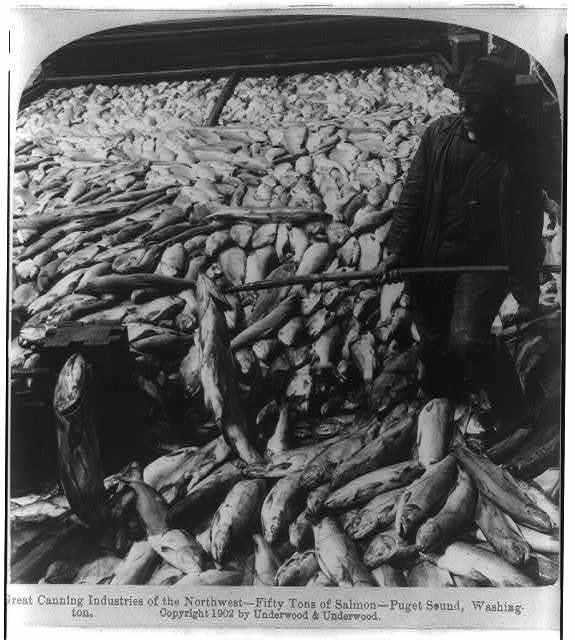 Great canning industries of the Northwest - fifty tons of salmon - Puget Sound, Washington
