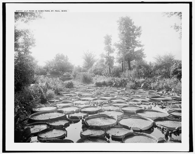 Lily pond in Como Park, St. Paul, Minn.