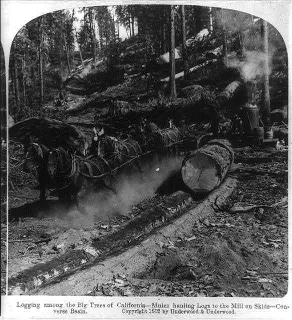 Logging among the big trees of California--mules hauling logs to the mill on skids, Converse Basin
