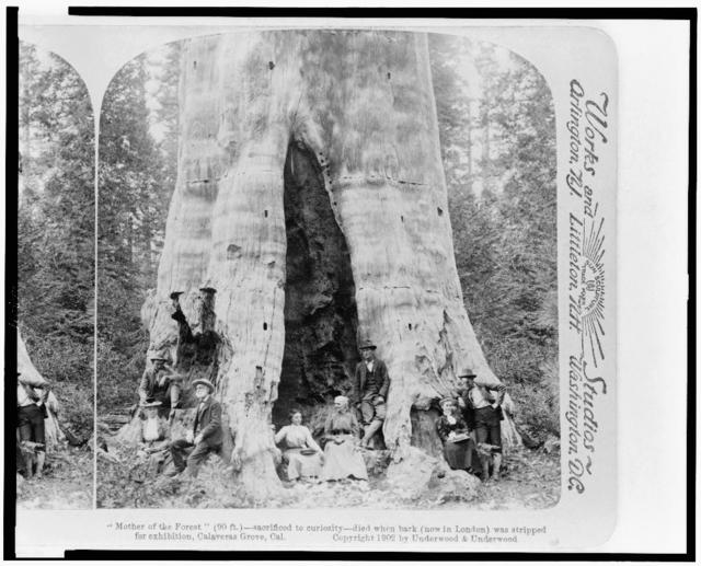 """Mother of the forest"" (90 ft.)--sacrificed to curiosity--died when bark (now in London) was stripped for exhibition, Calaveras Grove, Cal."