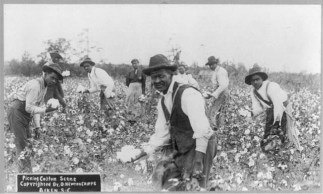 Picking cotton scene