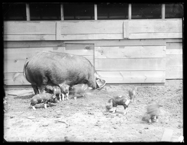 A sow and piglets bred by Matt Vanderburg on his farm  near Sargent, Nebraska.