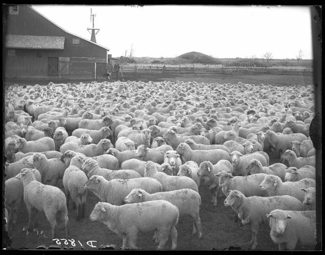 """""""Birt Johnson, Kearney, 1903.  Sheep."""""""