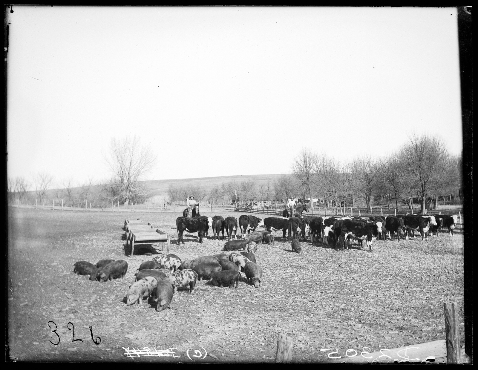 Cattle and hogs on the Lou Hammer Ranch near Wood River, Hall County, Nebraska