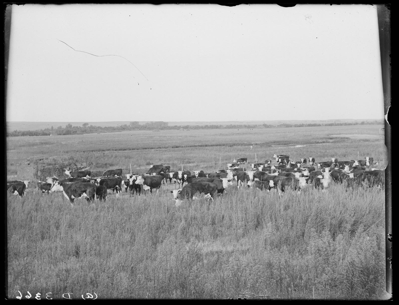 Cattle on a ranch near Lee's Park, Custer County, Nebraska