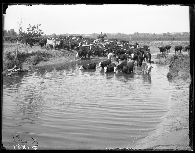 Cattle on the Josh Wood Ranch on the South Loup River, Custer County, Nebraska.