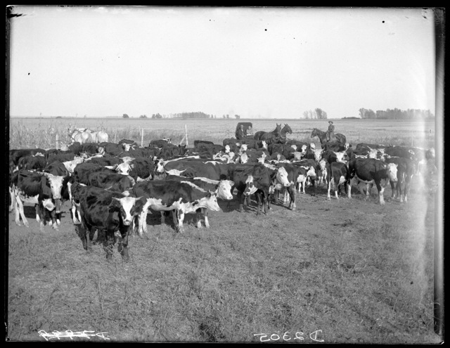 Cattle on the Lou Hammer ranch near Wood River, Hall County, Nebraska