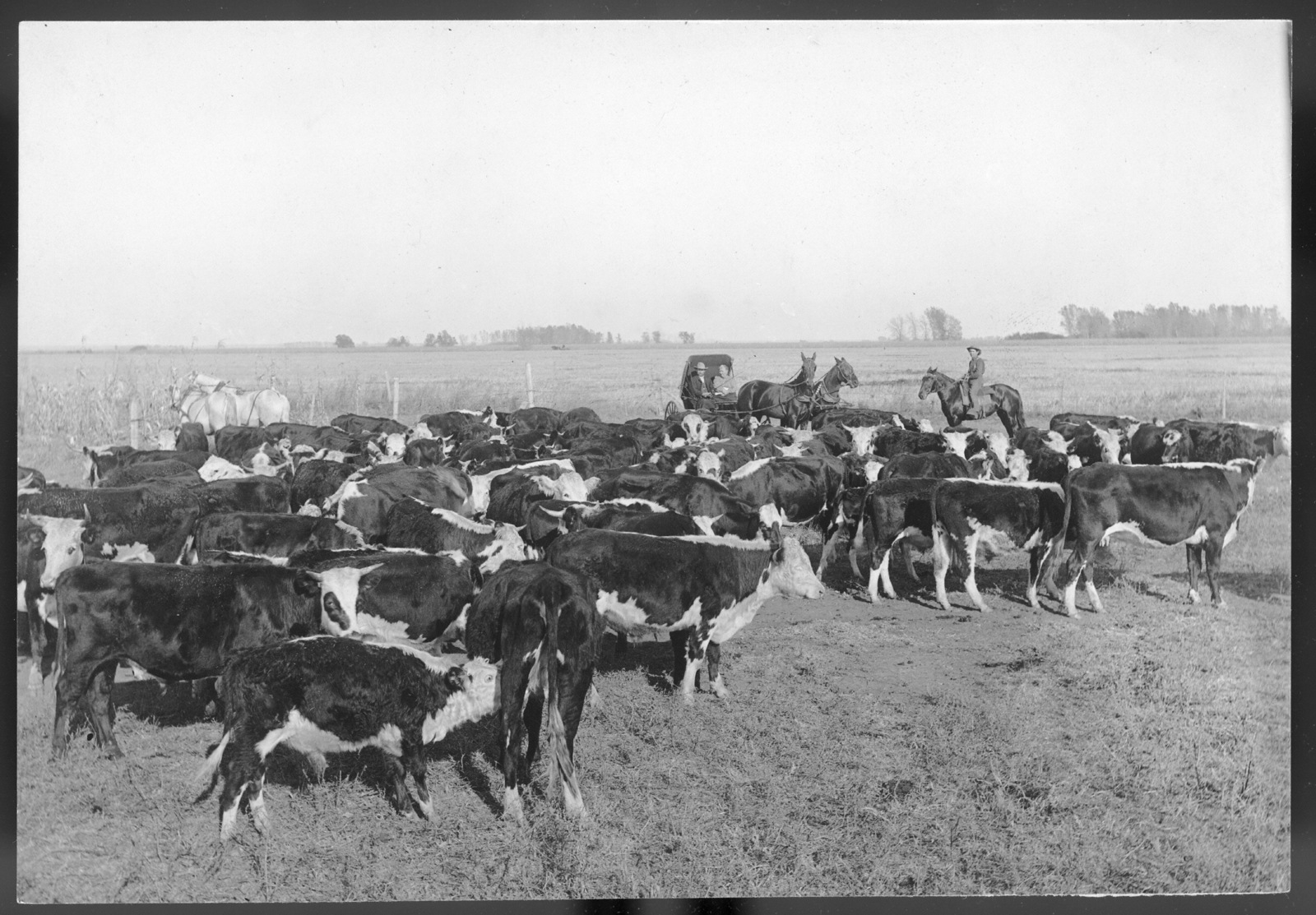 Cattle on the Lou Hammer ranch near Wood River, Hall County, Nebraska