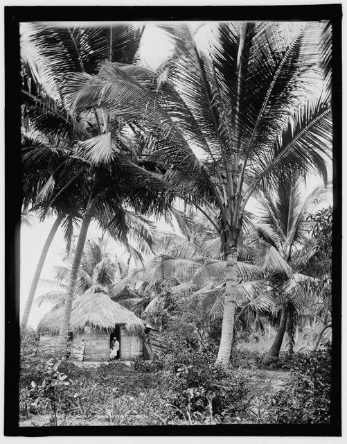 Cocoanut palms, Puerto Rico