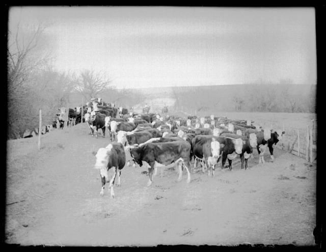 Driving cattle on the Lou Hammer Ranch near Wood River, Hall County, Nebraska