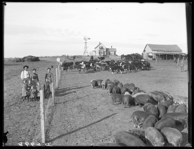 E. Johnson and family looking at cattle and hogs in a pen, Sumner, Dawson County, Nebraska.