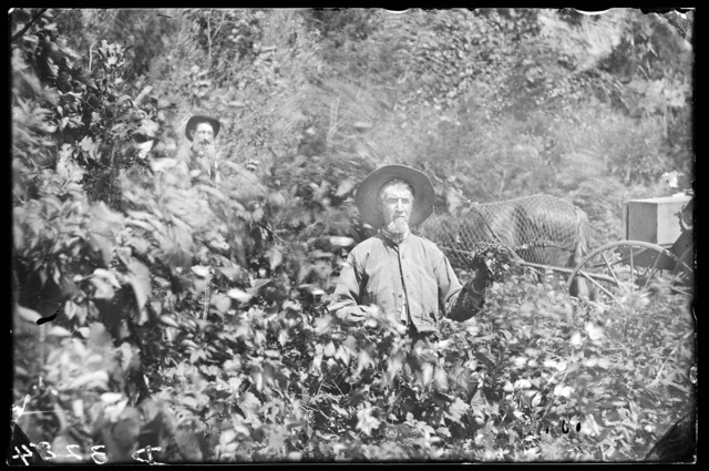 G. McLean's  orchard in Buffalo County, Nebraska.