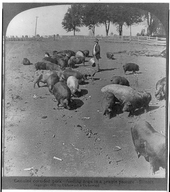 Genuine corn-fed pork--feeding hogs in a prairie pasture - Illinois
