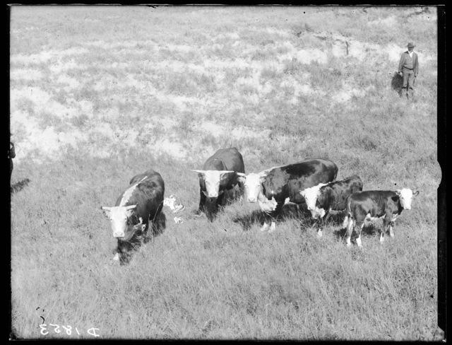 J.B. Tierney's cattle near Ansley, Nebraska.