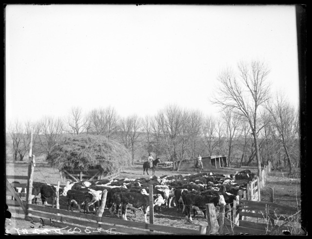 Livestock on the Lou Hammer Ranch near Wood River, Hall County, Nebraska