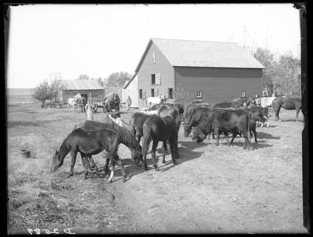Neidicorn barn and livestock, Buffalo County, Nebraska.