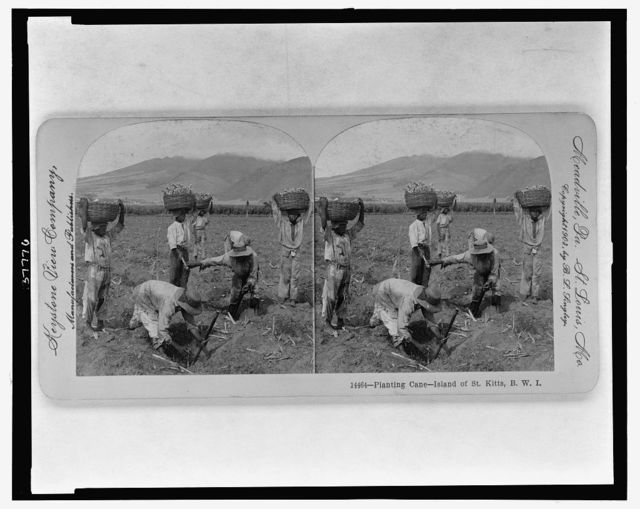 Planting cane, Island of St. Kitts, B.W.I.