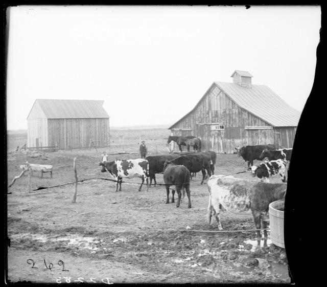 R.A. Atchison livestock near Miller, Buffalo County, Nebraska.