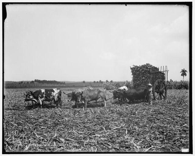 A Load of cane on a Cuban sugar plantation