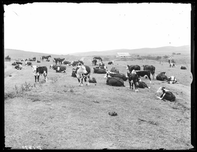 Bert Dethrage's cattle northeast of Broken Bow, Nebraska.