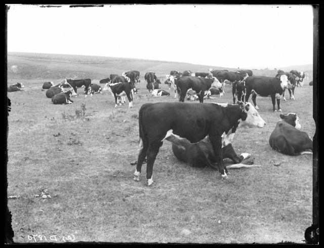 Bert Dethrage's cattle northeast of Broken Bow, Nebraska.