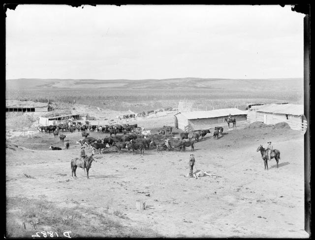 Branding cattle on a ranch near Ansley, Custer County, Nebraska