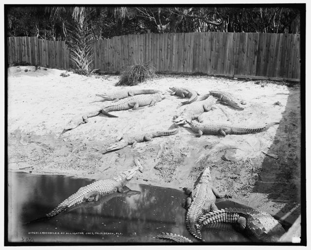 Crocodiles [i.e. alligators] at Alligator Joe's, Palm Beach, Fla.