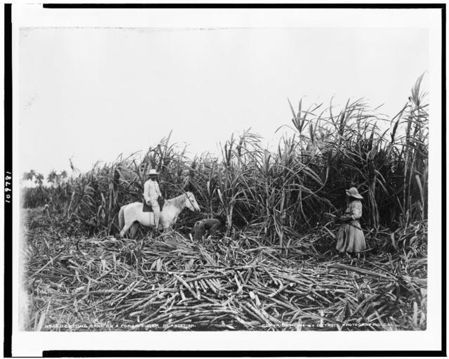 Cutting cane on a Cuban sugar plantation
