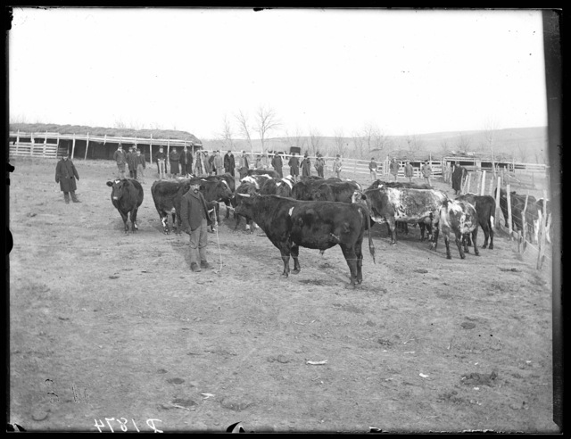 Livestock sale  at the M.N. Troupe farm, Sartoria Post Office, Custer County, Nebraska