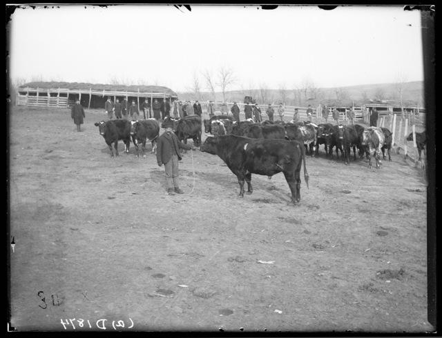 Livestock sale  at the M.N. Troupe farm, Sartoria Post Office, Custer County, Nebraska