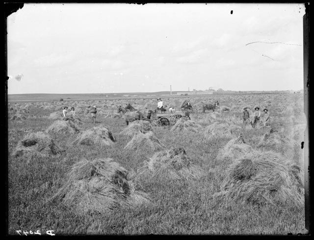 O.G. Smith cutting wheat on the Watson Ranch on the Platte River near Kearney, Nebraska.