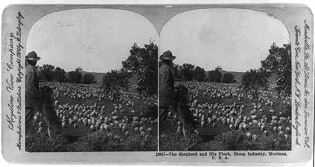 The shepherd and his flock, sheep industry, Montana